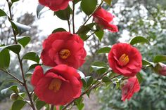 Camellia's in bloom at Lewis Ginter Botanical Garden (Photo by Garrett McLees)