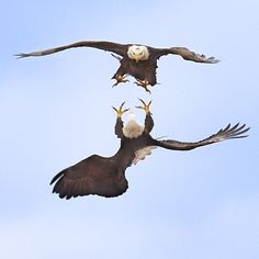 Watching the mating ritual of Bald Eagles is something to behold. They lock talons then spiral, spin and plummet in a dance on the air. Breathtaking.