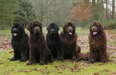Newfoundland Dogs....one cannot have enough