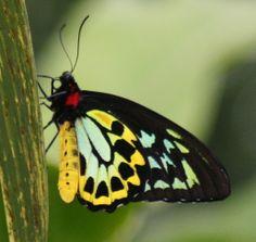 butterfly | Description Cairns Birdwing Butterfly Kuranda Butterfly Santuary .JPG