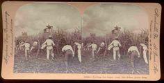 "Keystone No. 10264 ""Cutting the Sugar Cane, Rio Pedro, Porto Rico"" Cortando Caña de Azucar Puerto Rico"