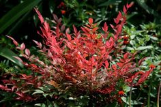 Buy heavenly bamboo Nandina domestica 'Obsessed ('Seika') (PBR)': Delivery by Crocus