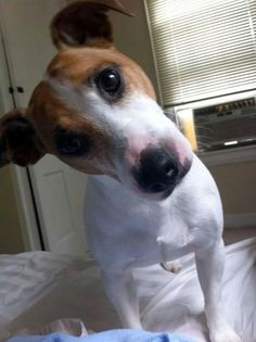 Jack Russell Mix, Parson Russell Terrier, Jack Russells, Terriers, Dogs, Terrier, Pet Dogs, Doggies