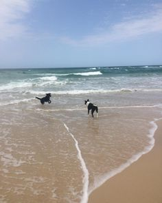 Bosco and brumby playing in the surf today
