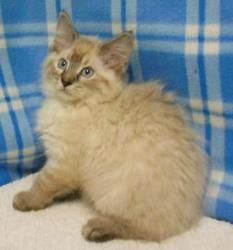 Lisa is an adoptable Siamese Cat in Miller Beach, IN. Lisa is a 3 month old female Siamese mix.     Our Adoptions Include: Spay or Neuter ... ...