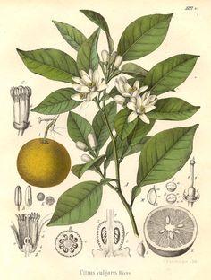 Nom latin : Citrus aurantium L. variété amara (feuille)