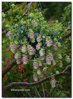 Origanum rotundifolium...ornamental oregano