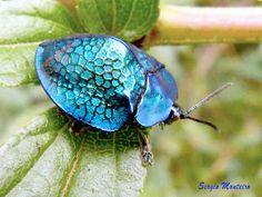 Scarabée tortue bleu métallique. / Metallic blue tortoise beetle. / By Sergio Monteiro.