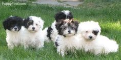 Havanese- look at these little guys. I want them ALL! Jethro would be in HEAVEN