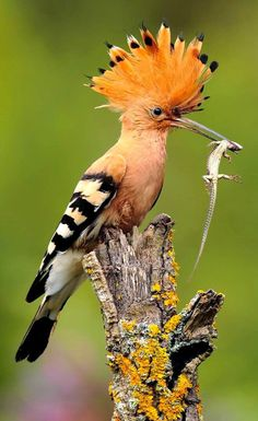 "The Hoopoe  is a colourful bird found across Afro-Eurasia, notable for its distinctive ""crown"" of feathers. It is the only extant species in the family Upupidae. One insular species, the Saint Helena hoopoe, is extinct, and the Madagascar subspecies of the hoopoe is sometimes elevated to a full species."