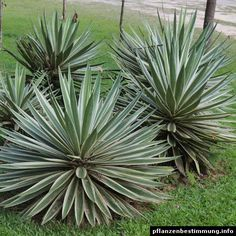 "Agave angustifolia ""Marginata"""