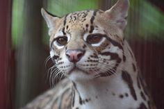 Jaguar Rescue Center, Costa Rica