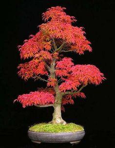 30 seeds/pack Mini Beautiful Red Maple Bonsai Seeds