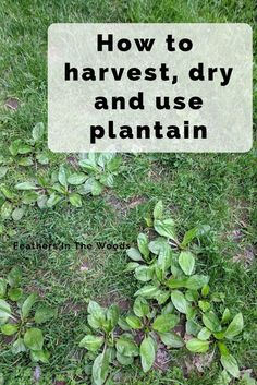 to harvest preserve and use plantain herb. Broadleaf plantain has many health uses here's how to use it. Plantain Plant, Permaculture, Diy Herb Garden, Herbs Garden, Garden Pests, Fruit Garden, Medicinal Weeds, Edible Wild Plants, Herbs For Health