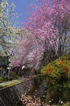 Cherry Blossoms - Philosopher's Walk (Path of Philosophy), Kyoto, Japan