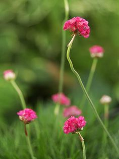 (groundcover) Armeria:A charming plant not seen enough in gardens, armeria offers low, grassy foliage and clusters of bright pink or white flowers in late spring and early summer.