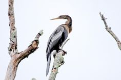 """""""Pretty Lady"""" by John Sutton can be purchased through out Online Gallery at http://gallery.savethecape.org #bird #anhinga #wildlife"""