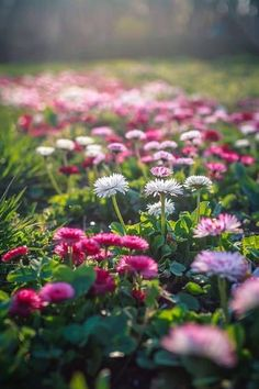field of flowers - pink & white