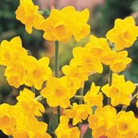 Shop our daffodil bulbs for sale. We carry classic yellow and white daffodil flowers, as well as miniature breeds, double-bloomers, pink varieties and more! Part Shade Flowers, Bulb Flowers, Spring Flowers, Hanging Flowers, Rare Flowers, Spring Blooms, Tropical Flowers, Spring Flowering Bulbs, Spring Bulbs