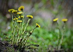 """Luonto herää talviuniltaan ©Kukka: """"Ensimmäiset kukat kurkistavat maasta. Kuvan otettu Kotkassa 10.04.2015."""""""