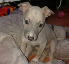 <3 Little miss Goldie; our whippet puppy at 8 weeks