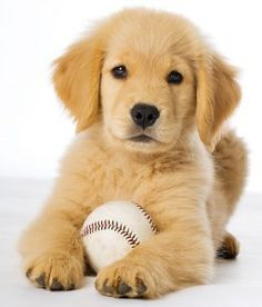 Golden Retriever dog breed information center. Golden Retriever personality, origins, costs,and health issues with FAQs, buying advice and care tips. Golden Retrievers, Chien Golden Retriever, Labrador Retrievers, Teacup Golden Retriever, Cute Puppies Golden Retriever, Happy Puppy, Retriever Puppy, Baby Dogs, Doggies
