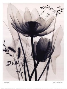 X ray lotus... Painting... Tattoo, oh the possibilities! Beautiful piece of art none the less