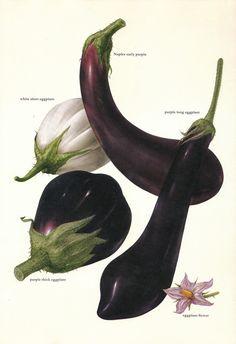 Vintage 1960s Eggplant Color Illustration Book Page