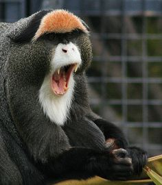 Image result for Brazza's monkey