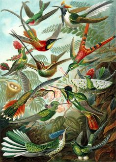 Humming Birds: A color plate illustration from Ernst Haeckel's Kunstformen der Natur, 1899, showing a variety of hummingbirds. From top to bottom: ruby-thr... #Humming_Birds