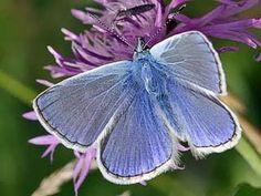 Common Blue -   Plebeius icarus