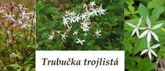 Byliny - Bylinky pro všechny Herbs, Massachusetts, Plants, Clever, Herb, Plant, Planets, Medicinal Plants
