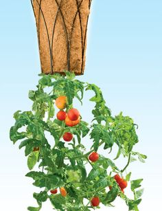 Upside down planter. It has a water reservoir, which is probably a good idea, but that prevents planting in the top.