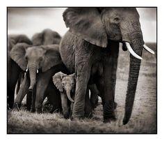 Nick Brandt Creative Wildlife Photograph, Matriarcal Elephant & her family