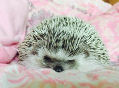 hedgehog lafi-lolo 고슴도치 라피로로야 아구 졸려~~