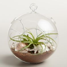 Our hanging terrarium is a mini seaside-garden-in-an-orb featuring a tillandsia succulent, starfish and faux pearls. Wall Terrarium, Terrarium For Sale, Hanging Glass Terrarium, Mini Terrarium, Terrarium Plants, Succulent Terrarium, Hanging Plants, Indoor Plants, Succulent Ideas