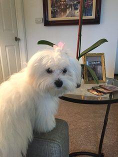 #Maltese #puppy