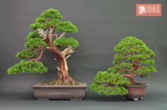 Descubre la selección de esta semana en bonsai www.bonsaicolmenar.com/novedades/