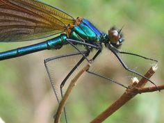 Beautiful Demoiselle (Calopteryx virgo) - Willoughby Fields