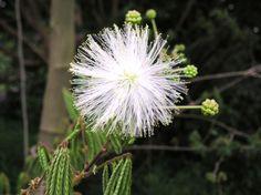 Calliandra Portoricensis