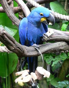 Hyacinth Macaw - endangered South American parrot