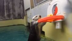 This Is A Sea Otter Dunking A Basketball, So You Have No Excuse For Having A Bad Day Now
