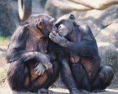 Chimpancés común ( Pan troglodytes)