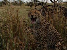 Cheetah Yawn by Pieter Geyser