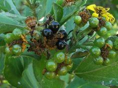 Osteospermum moniliferum fruits