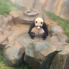 Panda enjoying the bath - pets/animals ♡ - Cute Funny Animals, Funny Animal Pictures, Cute Baby Animals, Cute Dogs, Cute Pictures, Cute Creatures, Beautiful Creatures, Animals Beautiful, The Animals