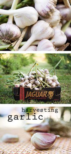Czosnek - udane zbiory w ubiegłym roku / #garlic - 2015 harvest