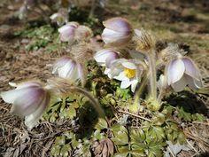 Kuvia neljästä vuodenajasta Garlic, Vegetables, Flowers, Plants, Vegetable Recipes, Plant, Royal Icing Flowers, Flower, Florals