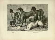 GREYHOUND DEERHOUND Wolfhound Dogs ANTIQUE Chromolithograph Dog Print 1890 Vero Shaw Cassells Company Christmas Thanksgiving Birthday gift by Hollysprints on Etsy
