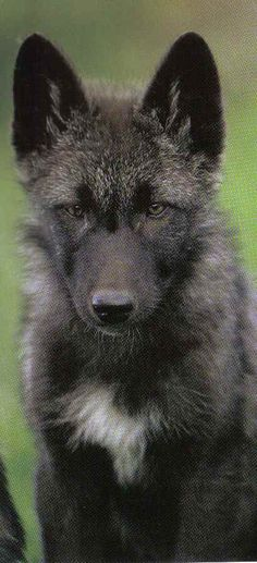 A great example of a wolfdog puppy. If it's claimed to be more than a low content, they all pretty much look the same. Lows can have a more husky puppy appearance, but will still be obviously different.